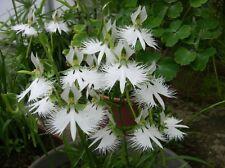 20 Semi freschi di Orchidea Pecteilis Habenaria radiata,Orchidea Airone