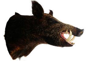 BROWN WILD BOAR RAZORBACK FERAL HOG PIG SHOULDER MOUNT TAXIDERMY REAL TUSK