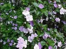 Yesterday Today Tomorrow ****Tree/Bush******
