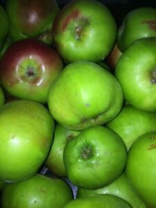 Bramley cooking  Apples ready now .