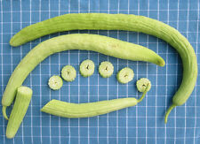 35 ARMENIAN YARD LONG CUCUMBER 2018 (all non-gmo heirloom vegetable seeds!)