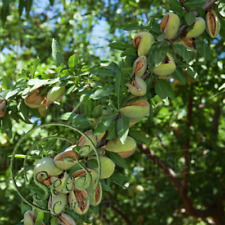 Almonds Badam Nut Chinese 2 Pcs Outdoor Fruit Tree Tropical Plant Home Garden