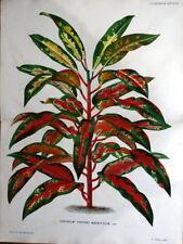 CODIAEUM CROTON MAGNIFICUM Linden Double Antique Botanical Vintage  Print 1882