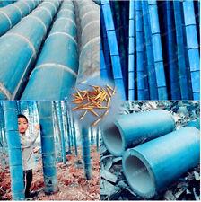 50pcs Rare Blue Bamboo Seeds Decorative Garden Herb Planter Bambu Tree Phyllosta