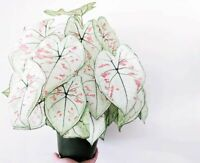 100 Caladium Flower Seeds Mixed Thailand Rare Perennial Garden Home Plant