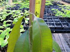 Valencia Pride Mango Tropical Fruit Flower Tree Plant Mangifera indica