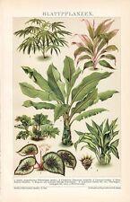 Blattpflanzen Aralie , Dracaena , Begonia rex hybrida    LITHOGRAPHIE v.1892