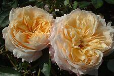 GINGER SYLLABUB - 5.5lt Potted Climbing Garden Rose - Apricot Orange, Fragrant