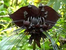 Black Bat Plant Tacca Chantrieri Tree Fresh Seeds 50+
