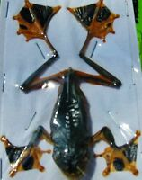Java Flying / Gliding / Parachute Frog Rhacophorus reinwardti Male FAST USA