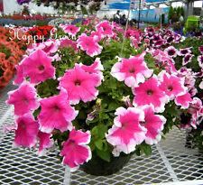 Petunia Multiflora Picotee Pink - Petunia hybrida multiflora nana - 400 seeds