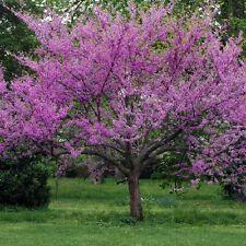20+ Eastern Red Bud Cercis canadensis Tree Seeds Spring Blooms Landscape
