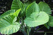 Colocasia Plant Jacks Giant Elephant Ear 5 Seeds