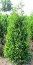 Thuja Brabant 140-160 cm Pflanzenhöhe inkl. Versand 21 x Pflanzen 335,- €.