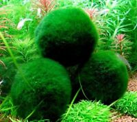 4 Marimo Moss Balls – Live Aquarium Plant Decor for Fish Tanks – ~ 2 Inches