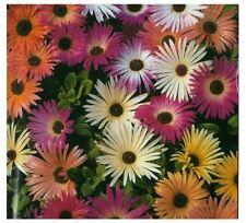 100 Semi/Seeds MESEMBRIANTEMO - LIVINGSTONE DAISY