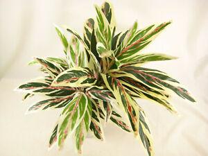 12x Artificial Plant Foliage Dracaena Bush (60cm Diameter) - Wholesale Job Lot