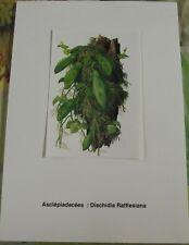Ancienne Affiche Botanique d'après Gaston Bonnier Dischidia Rafflesiana