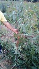5  piante di eucalipto  eucalyptus camaldulensis  70 cm  siepe-bosco