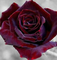 Black Red Rose Flower Seeds 100 SEEDS--BUY 4 ITEMS FREE SHIPPING