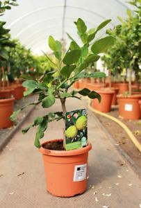 Kaffir Lime Tree (1L Pot)