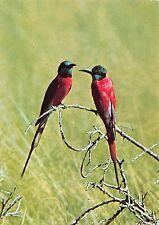 B98612 carmine bee eaters awash ethiopia africa  animals animaux