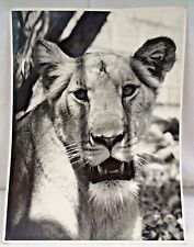 LION INDIA FEMALE GUJARAT VINTAGE BLACK & WHITE PHOTOGRAPH GIR NATIONAL PARK