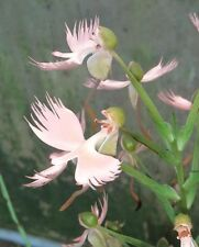 New Habenaria Orchid Hybrid Pegasus (medusa x carnea) blooming size plant!