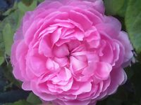 Rose Jacques Cartier, Wildrose,Duftrose,Container
