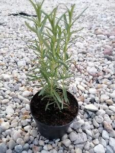 Rosmarin Rosmarinus Kräuterpflanzen Sämling Lush Kräutersetzling Eco-Gardens