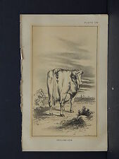 Cows Bulls Cattle Dairy Farming 1888 Engraving #160 Holland Cow