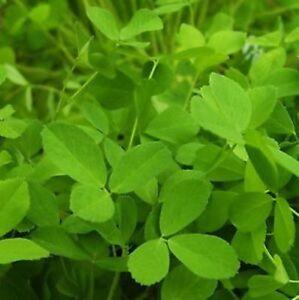 Green Manure - Alfalfa Seeds grow your own Fertilise your ground easy - Freepost