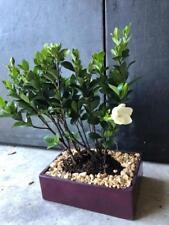 White Flowering Dwarf Leaf Gardenia bonsai tree