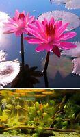 Tropische violette Seerose - Nymphea für das Aquarium ♪ Wasserpflanze ♪ Samen ..