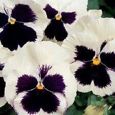 Pansy Seeds, Silverbride, Swiss Giant Pansies, Viola Seeds, Heirloom Seeds, 50ct