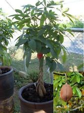 2 seed Pachira Money tree RARE indoor plant! bonsai!LARGE  good luck