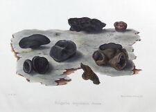 Negro Bulgar Hongo, Hussey antigüedad ORIGINAL Impresión de hongos seta 1847