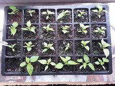 Chilli Seed Multi Pack Includes Carolina Reaper Seeds ,Naga Viper Seeds & More