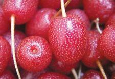 Gumi Seeds Cherry Elaeagnus multiflora 3 seeds Ukraine exotic plants garden idea
