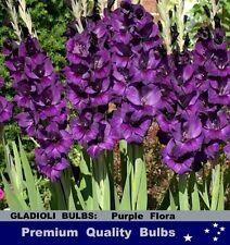 GLADIOLUS  BULBS - GLADIOLI - PURPLE FLORA - 10x BULBS
