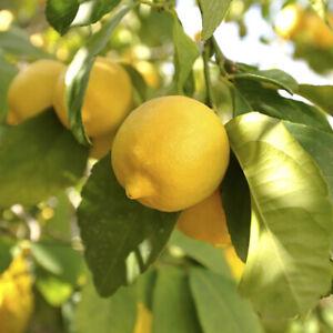 Citrus Lemon 'Citron' Tree in a 9cm pot