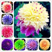 50 Dahlia Flower Seeds Beautiful Plants Colorful Rainbow Decor for Garden Home