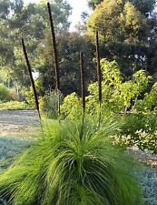 Spiky Grass Tree 25 Seeds - Ideal Rock Garden Plant
