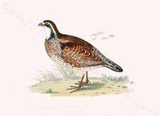 Virginian Partridge  - Game Bird ART PRINT - FREE UK P&P
