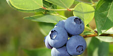 £ GIANT Hardy Variety^BLUEBERRY^ 50-Fresh-Seeds^5-8 kg From One Bush^UK Seller £