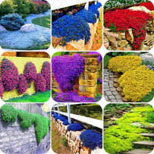 mixed 100 pcs/bag Creeping Thyme Seeds or Multi-color ROCK CRESS Seeds - Perenni