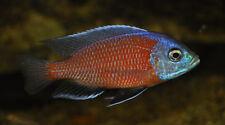 """Copadichromis borleyi """"Red Fin"""" ** Malawi Cichlid **  4-5cm"""