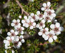 Large Flowered Tea Tree Seed Native Evergreen Shrub 2m Fragrant L. grandiflorum