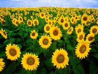 NATURE AGRICULTURE FLOWER FARM FIELD SUN YELLOW GREEN POSTER ART PRINT BB1276A