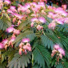 Albizia julibrissin Seidenbaum Mimosengewächs - winterhart